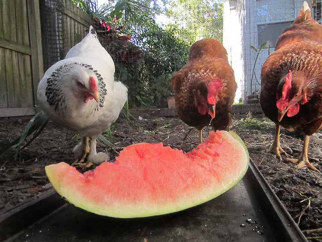 Watermelon Treats To Give To Your Chickens