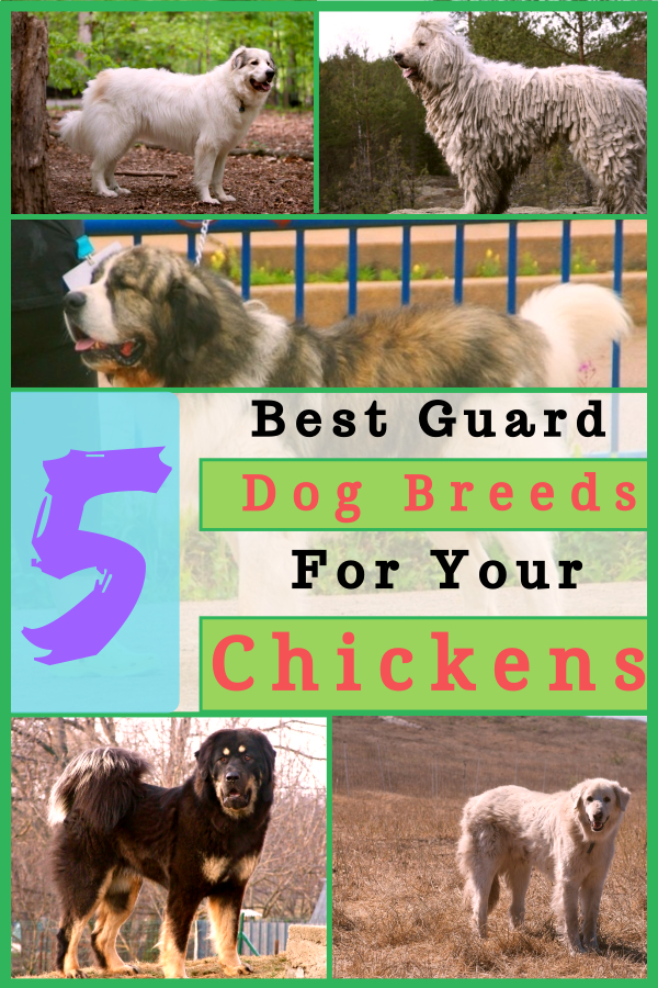 5 Best Guard Dog Breeds For Your Chickens & Poultry