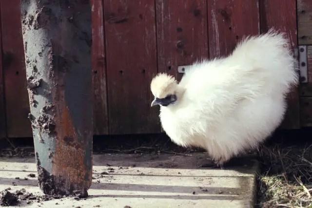 Friendly Silkie Chicken