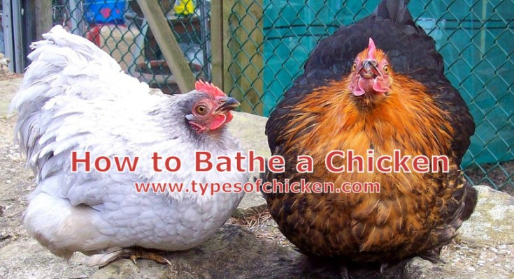How to Bathe a Chicken