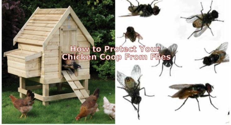 How to Protect Your Chicken Coop From Flies