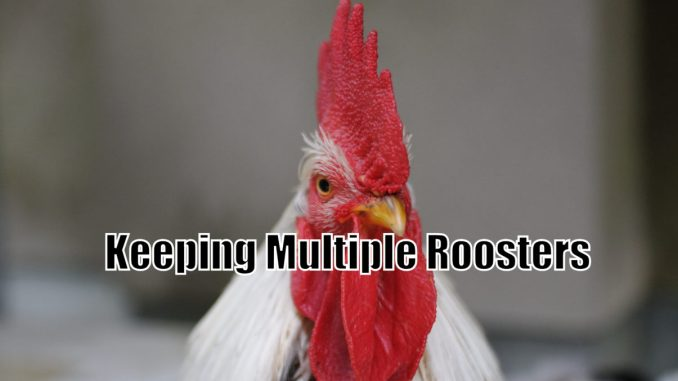 Keeping Multiple Roosters