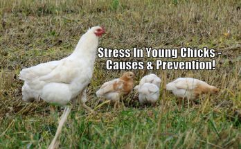 Stress In Young Chicks - Causes & Prevention!