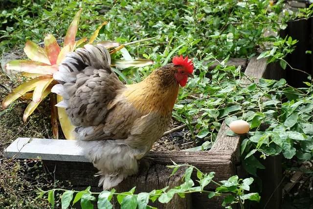 chicken egg eater