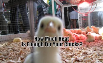 How Much Heat Is Enough For Your Chicks