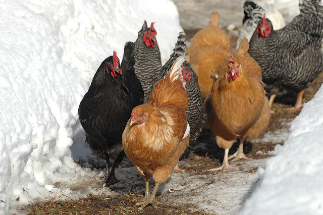 Keeping Chickens During The Winter