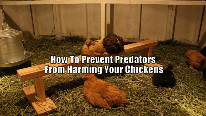 How To Prevent Predators From Harming Your Chickens