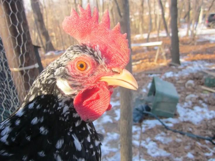 Ancona Chickens