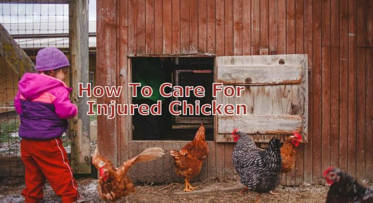 How To Care For Your Injured Chicken