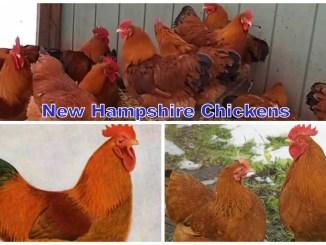 New Hampshire Chickens