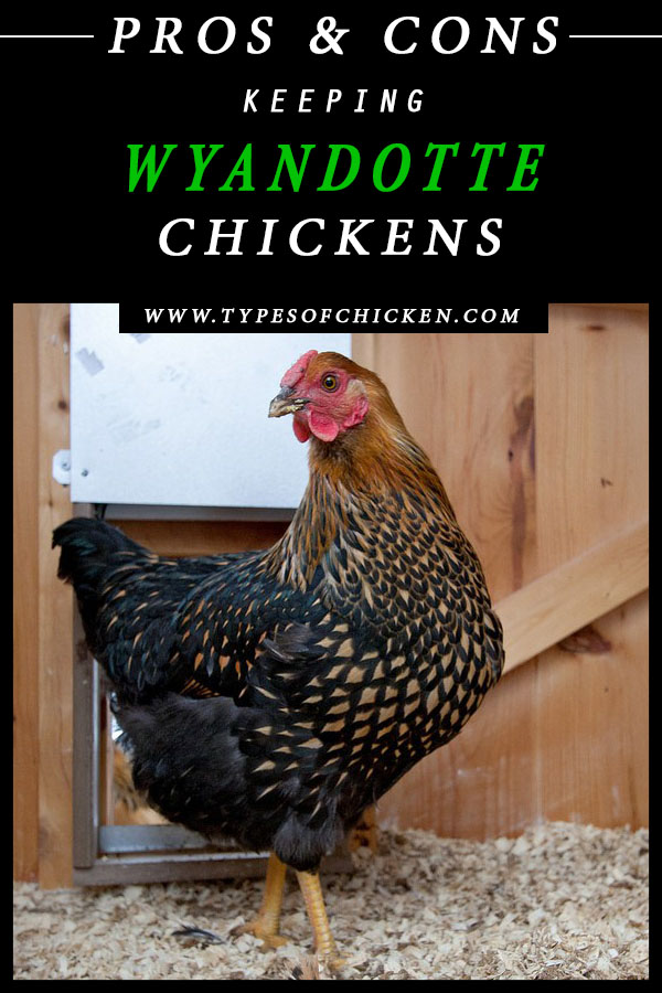 Pros & Cons Keeping WYANDOTTE Chickens