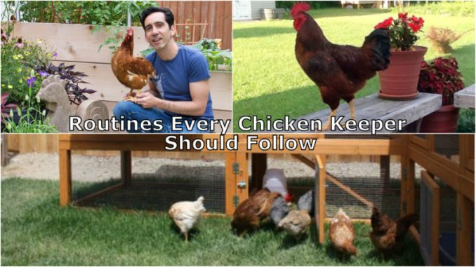 Routines Every Chicken Keeper Should Follow
