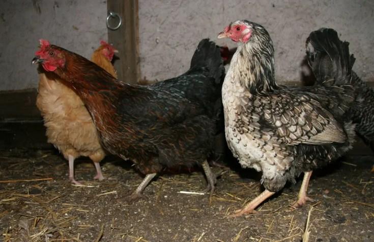 The Heritage Chicken Breeds