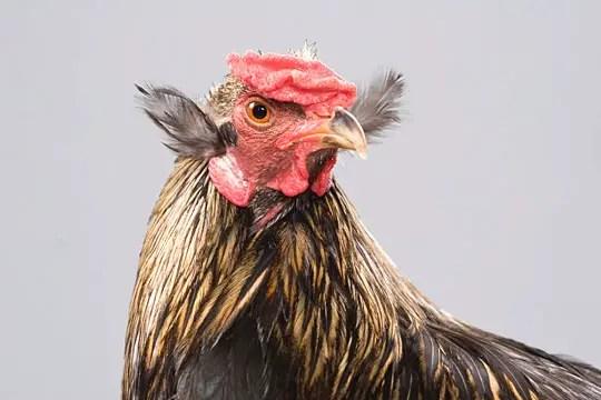 Unusual Chicken Breeds