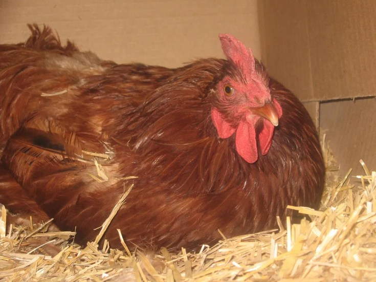 Bedding for chickens