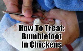 How To Treat Bumblefoot In Chickens