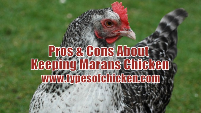 Pros & Cons About Keeping Marans Chicken