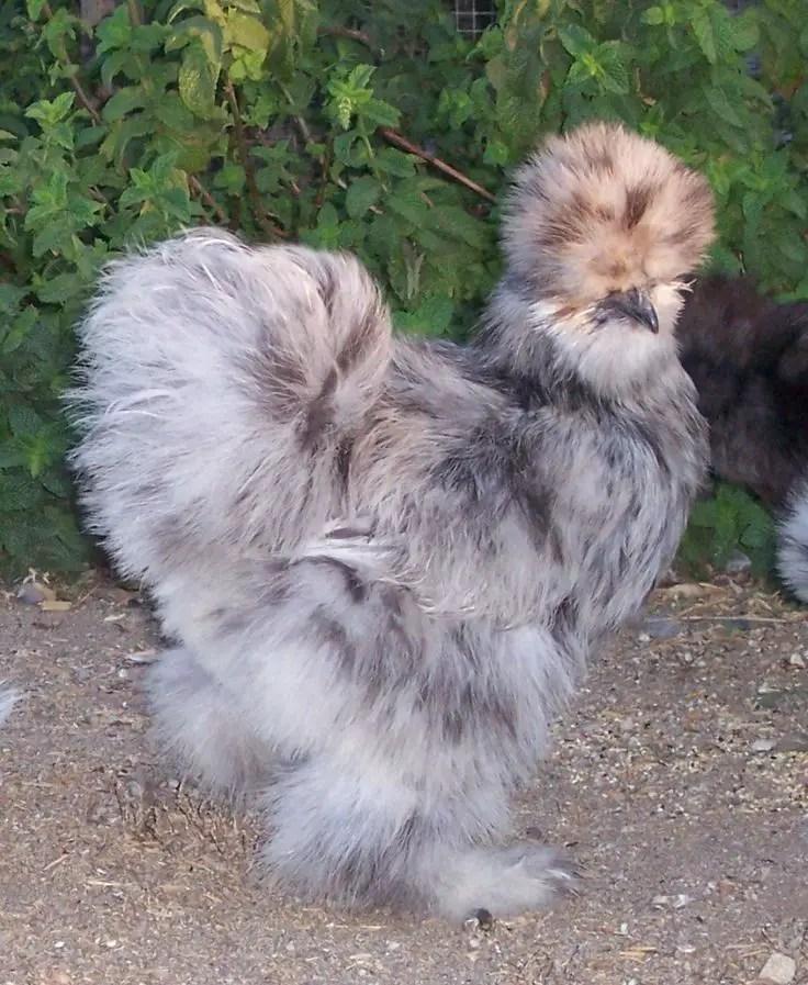 Weird & Unusual Chicken Breeds