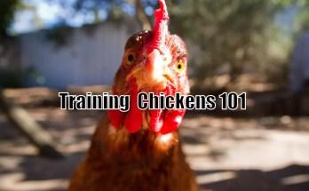 Training Chickens 101