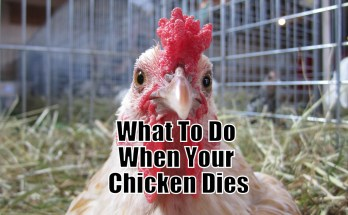 What To Do When Your Chicken Dies