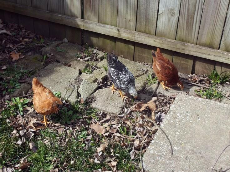 Hybrid Chickens