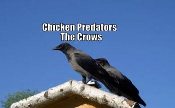 Chicken Predators - The Crows