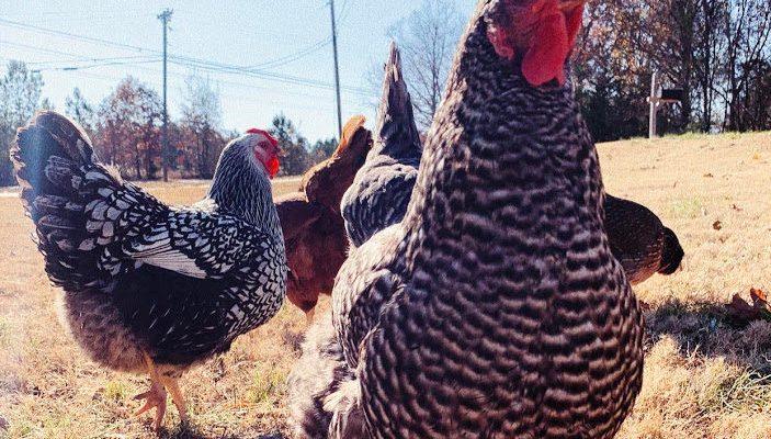 raising chickens 101