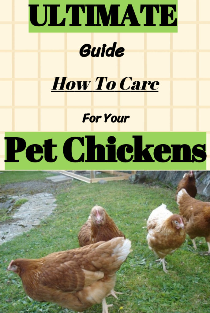 How to care for pet chickens