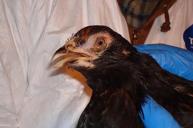 Avian influenza - Chicken health problems