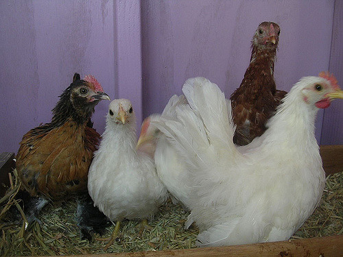 Chickens spend much time dust bathing, but in case they are crowded it is impossible.