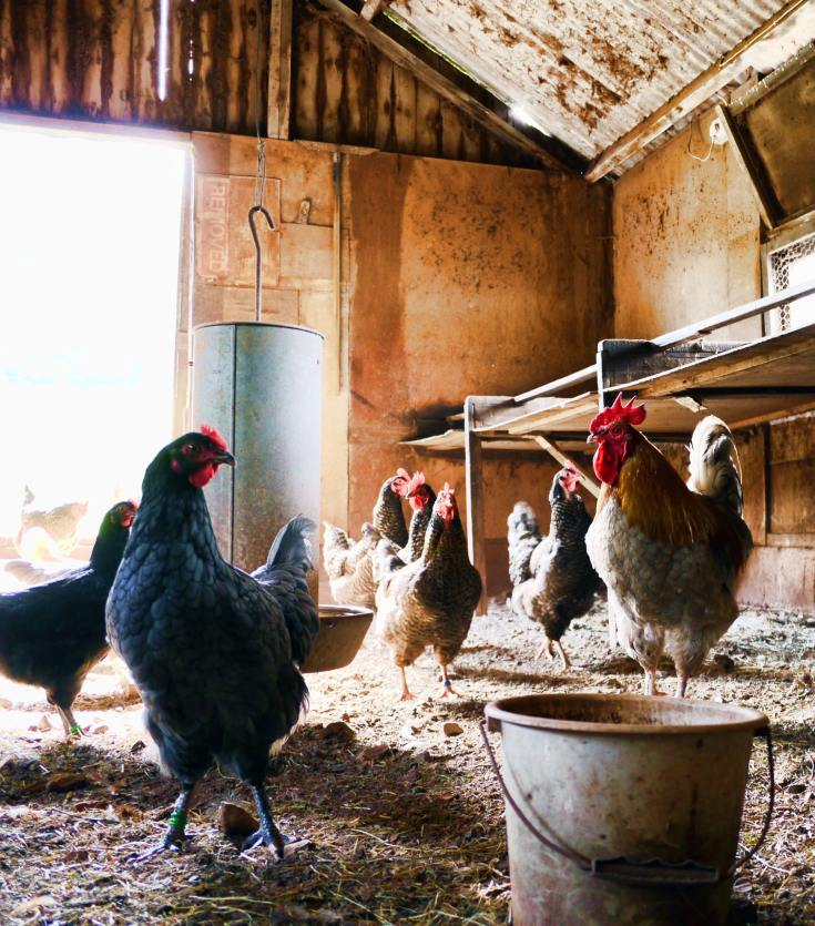 How To Raise Healthy Chickens In Few Steps