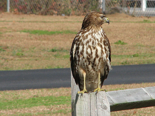 Chicken Predators - Hawks