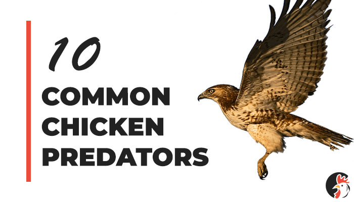 Top 10 Chicken Predators and How To Protect Your Flock