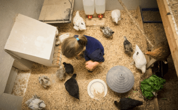 Raising Chickens From Eggs