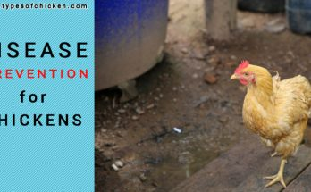 Disease Prevention for Chickens