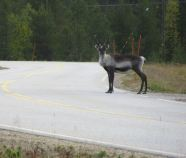 A healthy reindeer population provided ample opportunity to test the Hankook tyres' stopping distances