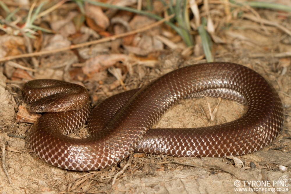 The Common Harmless Snakes of South Africa - Tyrone Ping