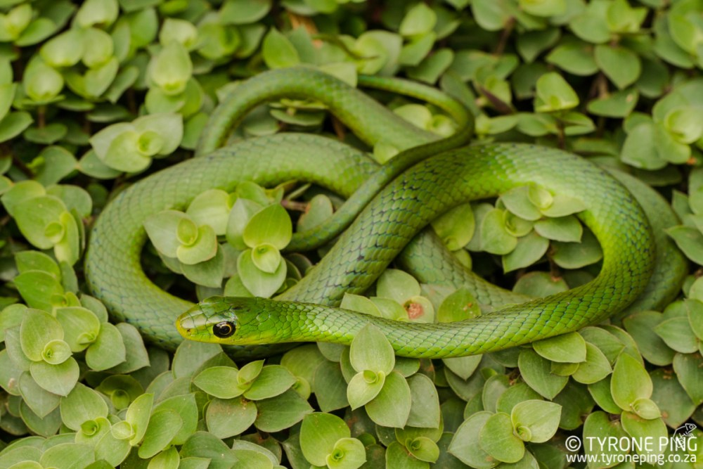 Snakes in Durban