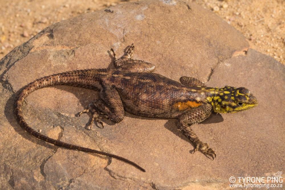 Agama planiceps | Namib Rock Agama | Tyrone Ping | Namibia
