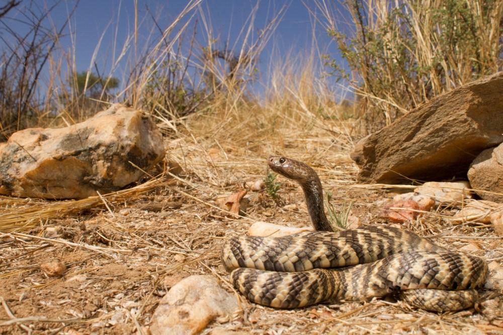 Naja nigricincta nigricincta | Western Barred Spitting Cobra |