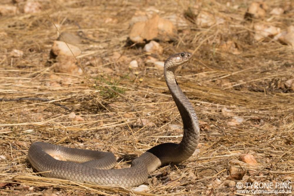 Naja anchietae | Anchieta's Cobra | Tyrone Ping | Namibia