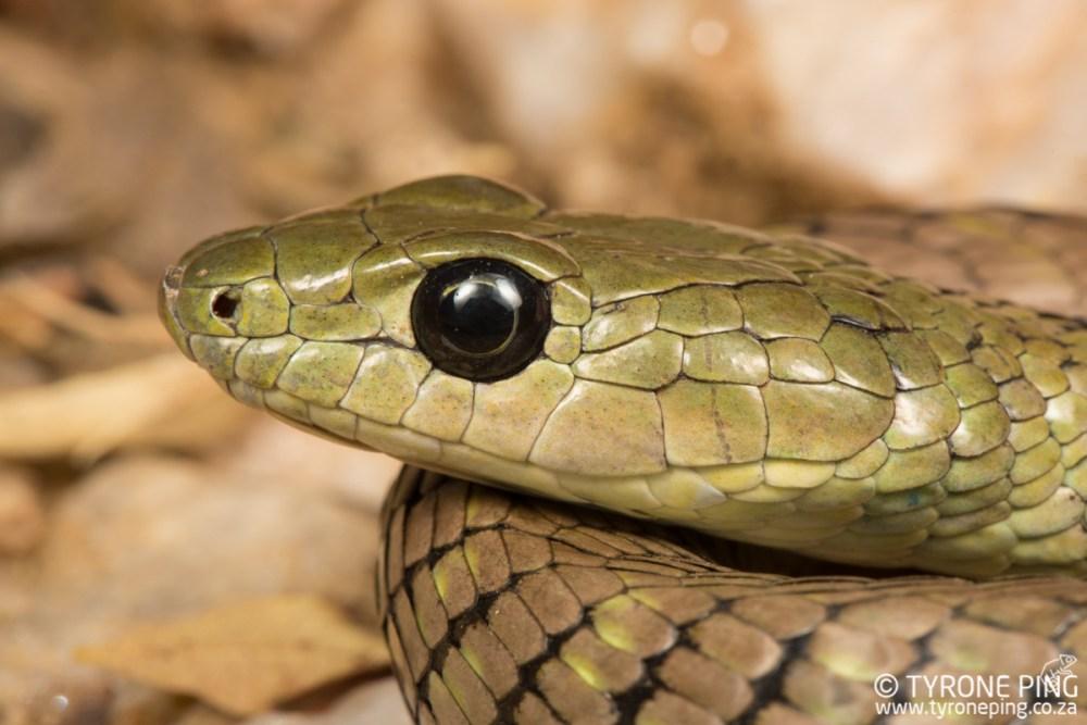 Philothamnus semivariegatus   Spotted Bush Snake   Tyrone Ping   Namibia