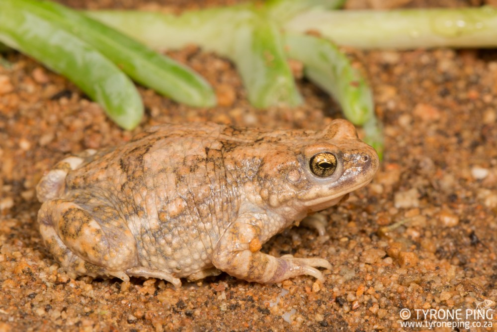 Poyntonophrynus dombensis | Dombe Pgymy Toad | Tyrone Ping | Namibia
