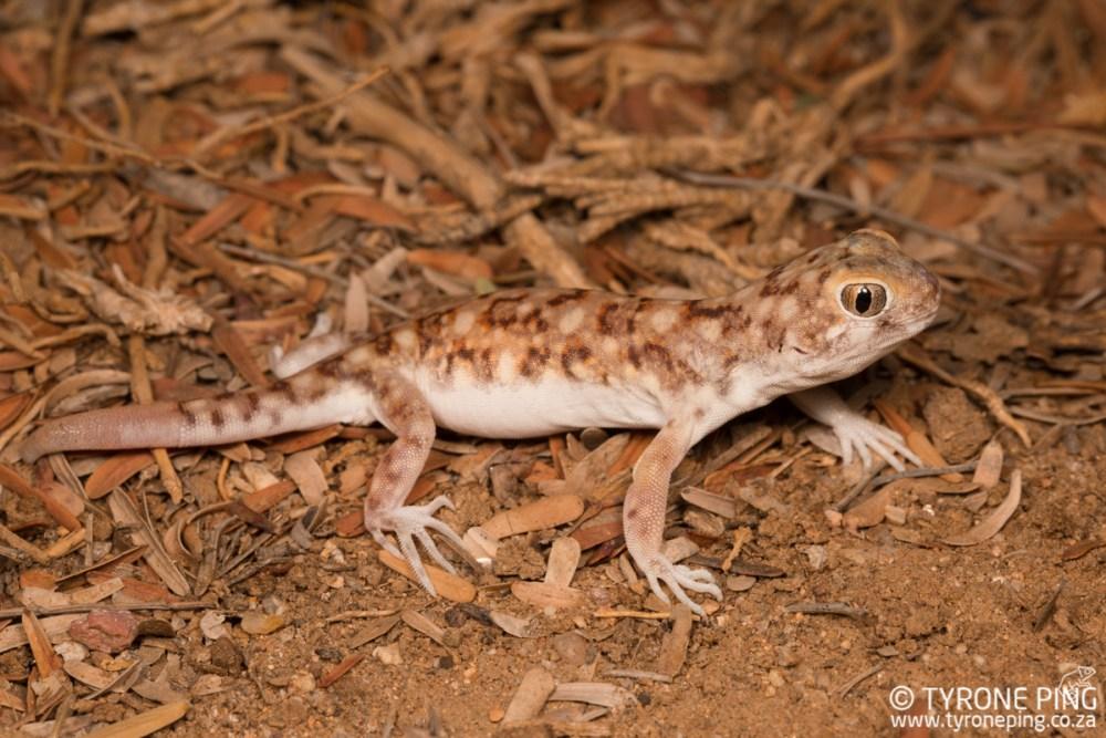 Ptenopus garrulus maculatus | Spotted Barking Gecko | Tyrone Ping | Namibia