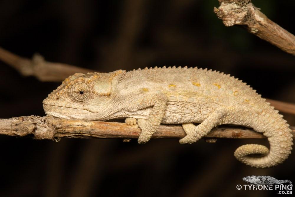 Bradypodion occidentale | Western Dwarf Chameleon | Namaqua Dwarf Chameleon | Tyrone Ping