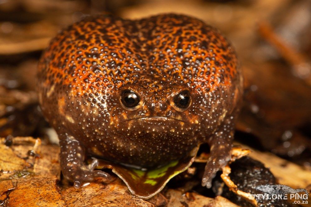 Breviceps acutirostris | Strawberry Rain Frog | Tyrone Ping