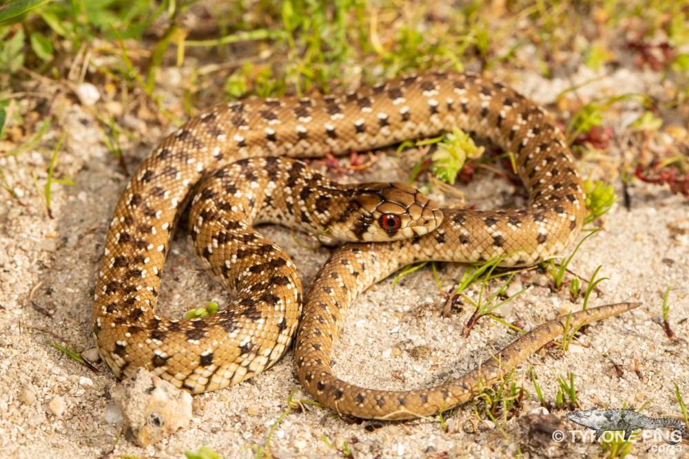 Pseudaspis cana - Mole Snake