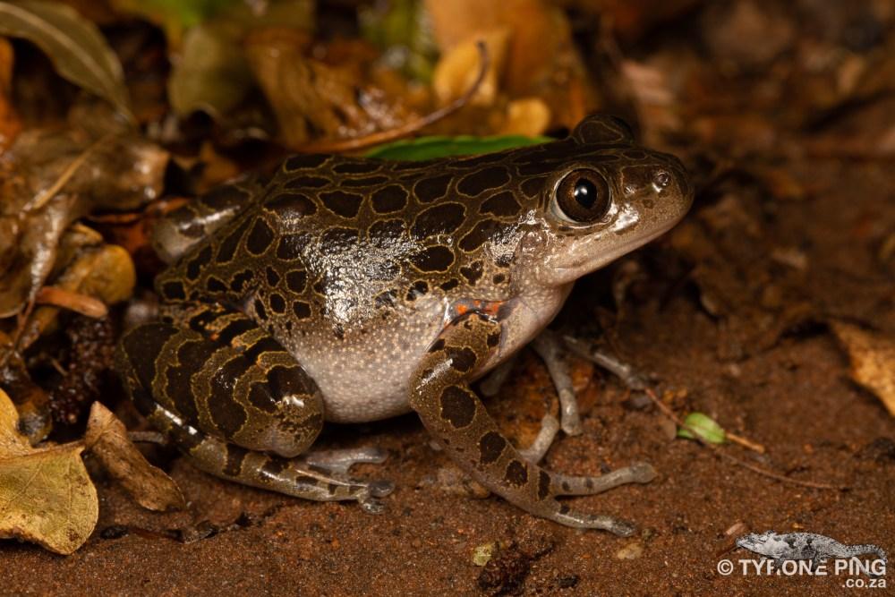 Phlyctimantis maculatus - | Red Legged Running Frog | Tyrone Ping