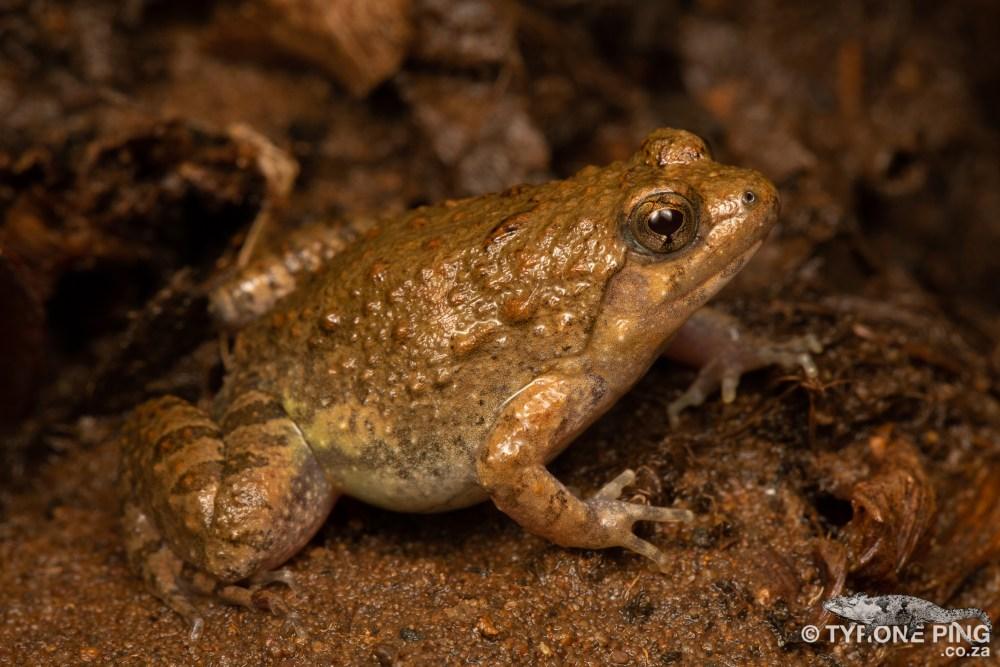 Phrynobatrachus natalensis | Snoring Puddle Frog | Tyrone Ping