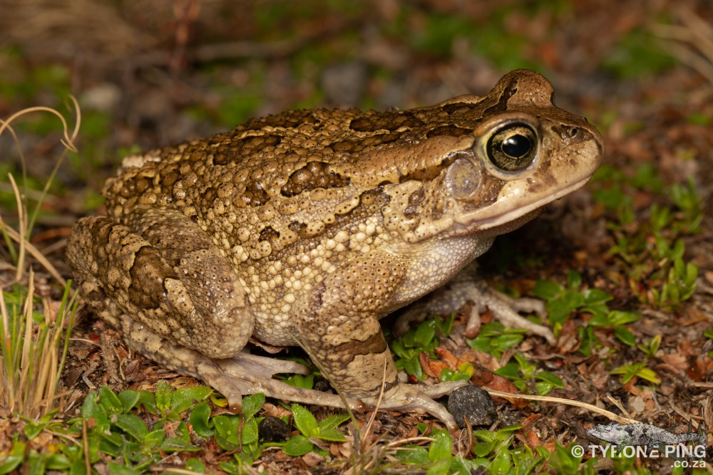 Sclerophrys capensis | Raucous toad | tyrone ping